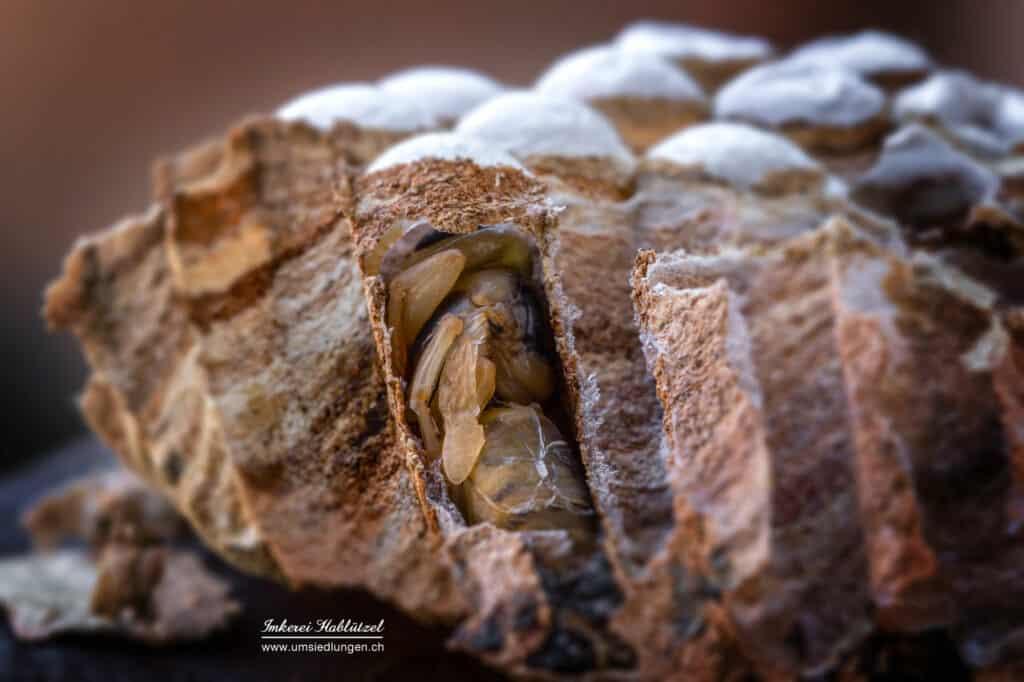 metamorphose der wespen